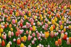 Frühlings-Tulpen in der Blüte lizenzfreie stockfotografie