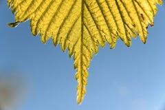 Frühlings-Ulmenblätter über blauem Himmel Stockfoto