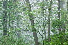 Frühlings-Wald im Nebel mit Hartriegel Stockfotos
