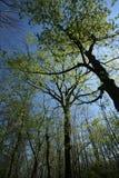 Frühlings-Waldhimmel Stockbilder