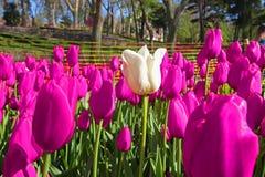 Frühlings-Zeit für Istanbul im April 2019, Tulip Field, bunte Tulpen, weiße Tulpe an der Mitte des bunten Feldes lizenzfreies stockfoto
