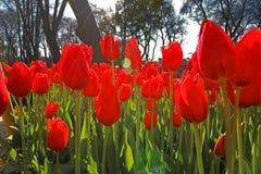 Frühlings-Zeit für Istanbul im April 2019, Tulip Field, rotes Tulpen-Feld lizenzfreies stockfoto
