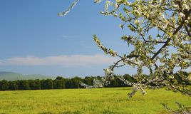 Frühlings-Zeit mit Pflaume-Baum Stockfotos