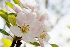 Frühlings-Zeit-Pfirsich-Blüten-Abschluss oben Stockfotografie