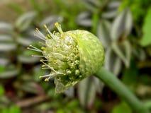 Frühlings-Zwiebelblume Lizenzfreies Stockfoto