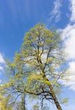 Frühlingsahorn Stockfoto