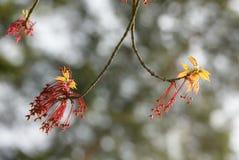 Frühlingsahornabschluß oben Stockfotografie