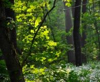 Frühlingsahornbaum in der Sonne Stockfotos