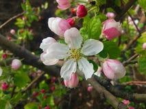 FrühlingsApfelbaum Stockbild