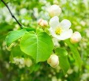Frühlingsapfelblumen Stockbild