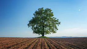 Frühlingsbaum mit frischen Blättern auf einem Ploughlandfeld stock footage
