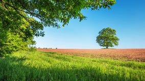 Frühlingsbaum mit frischen Blättern auf einer Wiese stock video