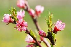 Frühlingsbaum-Rosablumen lizenzfreie stockbilder