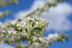 Frühlingsbaumblüte unter blauem Himmel Stockfoto