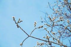 Frühlingsbaumknospen in den Niederlassungen Stockfotos
