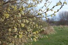 Frühlingsbaumknospung Stockbild