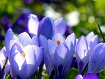 Frühlingsbeifall Stockfoto