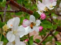 Frühlingsbiene Stockfotos