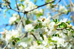 Frühlingsbiene am sonnigen Tag der Apfelblume stockfoto