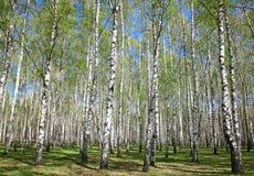 Frühlingsbirken mit ersten Grüns Lizenzfreie Stockbilder