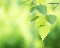 Frühlingsbirkenblätter Stockbild
