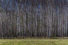 Frühlingsbirkenwald stockfoto