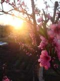 Frühlingsbirne Stockfotografie