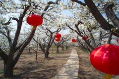 Frühlingsbirnenobstgarten Lizenzfreies Stockfoto