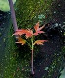 Frühlingsblätter des Ahornholzes Lizenzfreies Stockbild