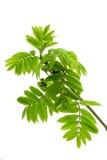 Frühlingsblätter des Ebereschebaums Lizenzfreie Stockfotos