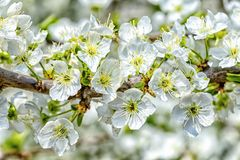 Frühlingsblühen der Bäume Lizenzfreie Stockfotografie