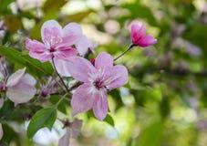 Frühlingsblühen der Frucht Stockbilder