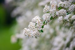 Frühlingsblühen des dekorativen Busches Stockfoto