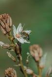 Frühlingsblühen eines einzelnen Asphodel mit einer kleinen Biene Lizenzfreie Stockfotos