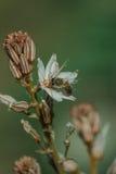 Frühlingsblühen eines einzelnen Asphodel mit einer kleinen Biene Lizenzfreies Stockbild