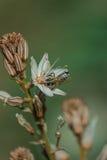 Frühlingsblühen eines einzelnen Asphodel mit einer kleinen Biene Lizenzfreie Stockfotografie
