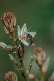 Frühlingsblühen eines einzelnen Asphodel mit kleiner Biene Stockfotografie
