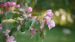 Frühlingsblühen von Bäumen im Garten stock video