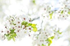 Frühlingsblüte Stockfotografie