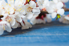 Frühlingsblüte blüht Aprikose auf blauem hölzernem Hintergrund Stockbilder