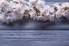 Frühlingsblüte blüht Aprikose auf blauem hölzernem Hintergrund Stockfotografie