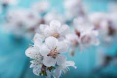 Frühlingsblüte blüht Aprikose auf blauem hölzernem Hintergrund Lizenzfreie Stockfotos