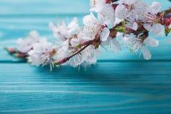 Frühlingsblüte blüht Aprikose auf blauem hölzernem Hintergrund Stockbild