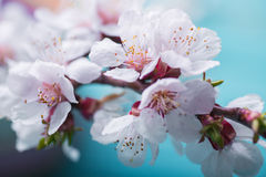 Frühlingsblüte blüht Aprikose auf blauem hölzernem Hintergrund Stockfotos