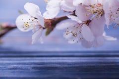 Frühlingsblüte blüht Aprikose auf blauem hölzernem Hintergrund Stockfoto