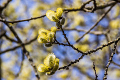Frühlingsblüte der Pussyweide Stockfotos