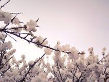 Frühlingsblüte in einem Baum stockfotografie