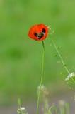 Frühlingsblüte von wilden Mohnblumen Lizenzfreie Stockfotografie