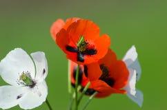 Frühlingsblüte von wilden Mohnblumen Lizenzfreies Stockfoto