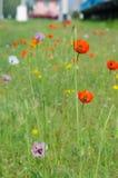 Frühlingsblüte von wilden Mohnblumen Lizenzfreies Stockbild